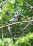 Blue Jay Stockbilder