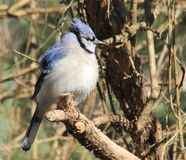 Blue Jay. This blue jay is all puffed up Royalty Free Stock Photography