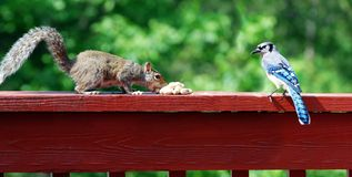 Blue Jay And Squirrel Stock Photos
