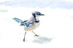 Blue Jay with attitude, Cyanocitta cristata handsome specimen, straddle, standing akimbo alertly in crystal snow. Blue Jay Cyanocitta cristata looking for Royalty Free Stock Photo