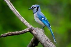 Blue Jay auf einer natürlichen Stange Stockfotografie