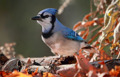 Blue jay during autumn Royalty Free Stock Photo