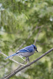 Blue Jay with Banded Leg Stock Photography