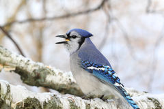 Blue Jay on Birch Stock Images