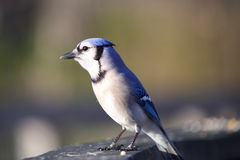 Blue Jay bird Royalty Free Stock Image