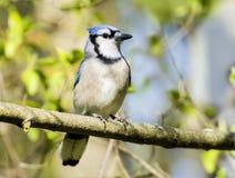 Blue Jay bird Royalty Free Stock Image