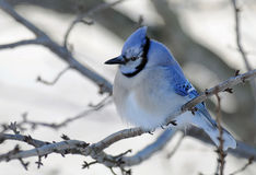 Blue Jay bird on branch Royalty Free Stock Image