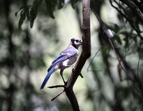 Blue jay bird on branch Stock Photos