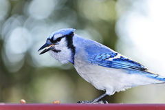 Blue jay bird Royalty Free Stock Photography