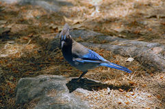 Blue Jay bird Royalty Free Stock Photo