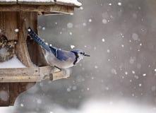 Blue Jay at Bird Feeder Winter Stock Photography