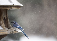 Blue Jay at Bird Feeder Winter Royalty Free Stock Images