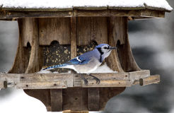 Blue Jay at Bird Feeder Winter Royalty Free Stock Photography