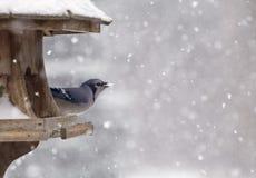 Blue Jay at Bird Feeder Winter Royalty Free Stock Image