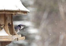 Blue Jay at Bird Feeder Winter Stock Photos