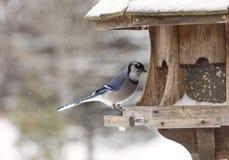 Blue Jay at Bird Feeder Winter Stock Photo