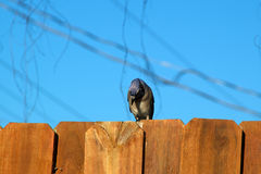 Blue jay bird on fence looking down Royalty Free Stock Photo
