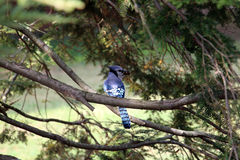 Blue jay bird Stock Image