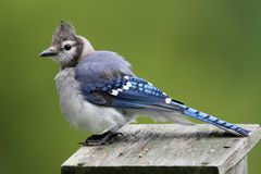 Blue Jay on a bird house Stock Photography