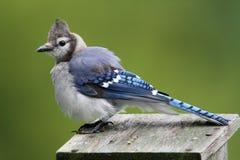 Blue Jay on a bird house Stock Photography