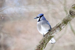 Blue Jay bird on limb Stock Images