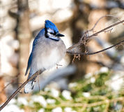 Blue Jay bird Stock Photography