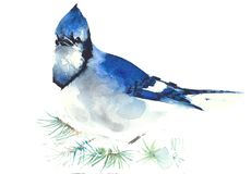 Blue jay bird watercolor painting illustration isolated on white background greeting card Royalty Free Stock Photography