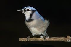 Blue Jay On Black Royalty Free Stock Photo