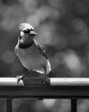 Blue Jay in Black and White. A Texas Bule Jay perched on balcony railing Stock Photos