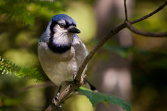 Blue Jay on a branch Stock Images