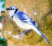Blue Jay. On a branch stock images