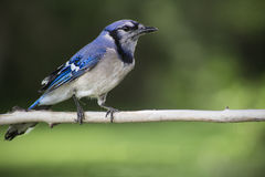 Blue jay on a branch Royalty Free Stock Image