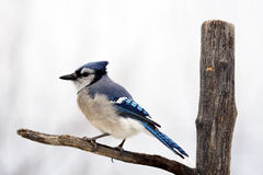 Blue jay on branch. Blue jay bird, Cyanocitta cristata, on branch Royalty Free Stock Image