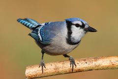 Blue Jay on a Branch Stock Photography