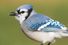 Blue Jay on a Branch Royalty Free Stock Photo
