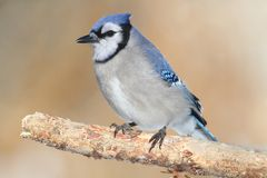 Blue Jay on a Branch Royalty Free Stock Images