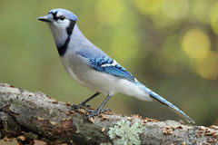 Fall Blue Jay on a Branch. A blue jay (Cyanocitta cristata) perching on a branch in Fall Stock Image