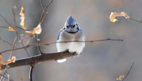 Blue jay in branch. Blue jay in nature during winter Stock Images