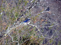 Blue Jay and Buddy. A blue-jay sits in a red-bud tree with a friend in wintertime during a snow Royalty Free Stock Photography