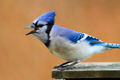 Blue Jay Calling Royalty Free Stock Photo
