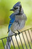 Blue Jay in Central Park. Blue Jay on fence in Central Park Royalty Free Stock Image