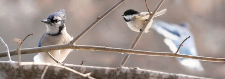 Blue jay and chickadee in branch stock photo