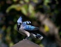 Blue Jay on a chimney Stock Image