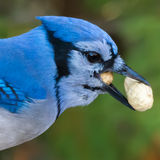 Blue Jay. Close-up of a blue jay with peanuts in its beak Royalty Free Stock Photography