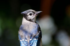 Blue Jay Close Up Stock Images