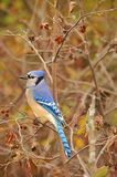 Blue jay close-up on tree Royalty Free Stock Images