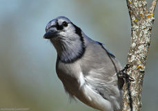Blue Jay Closeup Stock Images