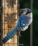Blue jay closeup at birdfeeder. Closeup of Blue jay in North America with vibrant colours eating at birdfeeder Royalty Free Stock Images