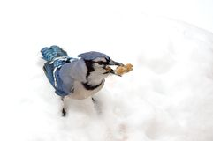 Blue jay Stock Photos