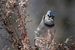 Blue jay Royalty Free Stock Image